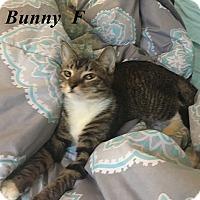 Adopt A Pet :: Bunny - Brandon, FL