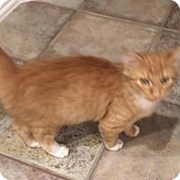 Adopt A Pet :: Lucy (orange) - Garland, TX