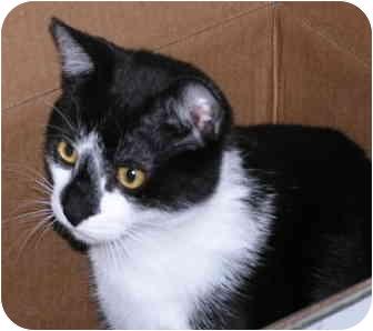 Domestic Shorthair Cat for adoption in Wakinsville, Georgia - Kane
