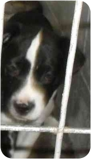Border Collie Mix Puppy for adoption in Jacksonville, Florida - Hope