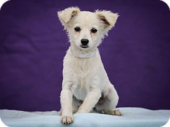 Papillon/Chihuahua Mix Puppy for adoption in Los Angeles, California - Pearl