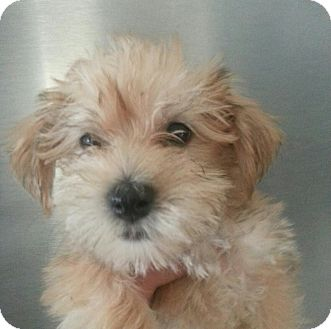 Maltese/Yorkie, Yorkshire Terrier Mix Puppy for adoption in Silver ...