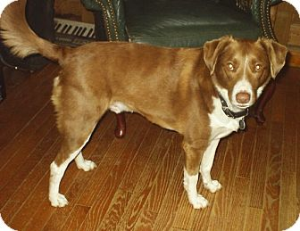 Australian Shepherd/Hound (Unknown Type) Mix Dog for adoption in cedar grove, Indiana - Boden