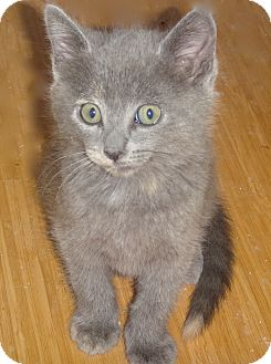 Russian Blue Kitten for adoption in Escondido, California - Miska