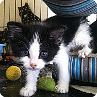 Adopt A Pet :: kittens kittens kittens!!! - Los Angeles, CA