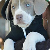 Adopt A Pet :: PEACHES - Redondo Beach, CA
