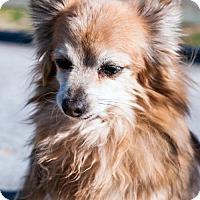 Adopt A Pet :: Elmo - Lancaster, CA