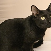 Domestic Shorthair Cat for adoption in Atlanta, Georgia - Meesha