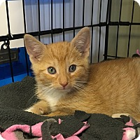 Adopt A Pet :: Tiny Tim - Island Park, NY