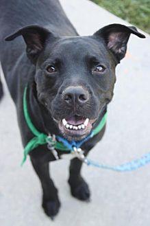 American Pit Bull Terrier/Labrador Retriever Mix Dog for adoption in Fredericksburg, Virginia - Purvis- Lucky Dog Rescue