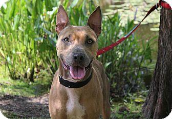 Pit Bull Terrier Mix Dog for adoption in Ocean Springs, Mississippi - June