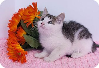Domestic Shorthair Kitten for adoption in Muskegon, Michigan - Anna