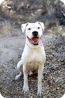 Dogo Argentino Dog for adoption in Santa Monica, California - Dogo