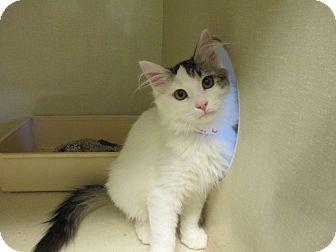 Domestic Longhair Cat for adoption in Delta, Colorado - Kizzi