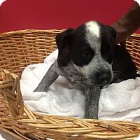 Adopt A Pet :: Ringo - Decatur, AL
