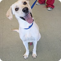 Labrador Retriever Mix Dog for adoption in Cleveland, Mississippi - RILEY