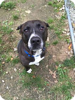 Labrador Retriever Mix Dog for adoption in Peace Dale, Rhode Island - Dora