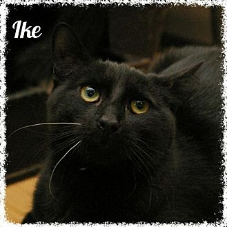 Domestic Shorthair Cat for adoption in Island Heights, New Jersey - Ike
