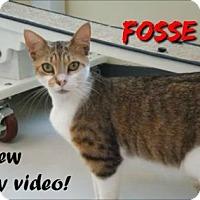 Domestic Shorthair Cat for adoption in Sarasota, Florida - Fosse
