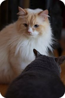 Manx Cat for adoption in Simpsonville, South Carolina - Boo