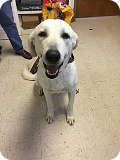 Labrador Retriever/Great Pyrenees Mix Dog for adoption in Coldwater, Michigan - Misty