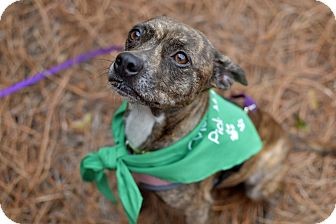Chihuahua/Boxer Mix Dog for adoption in Summerville, South Carolina - Nut Nut