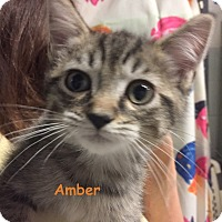 Adopt A Pet :: AMBER - Cliffside Park, NJ