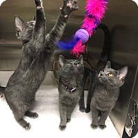 Adopt A Pet :: Macie - Chicago, IL