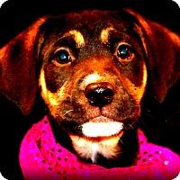 Adopt A Pet :: Dorothy - Glastonbury, CT