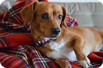 Dachshund/Beagle Mix Dog for adoption in Los Angeles, California - Rolo