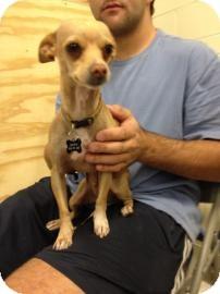 Chihuahua Mix Dog for adoption in Tucson, Arizona - Ryan