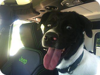 Pit Bull Terrier/Australian Shepherd Mix Dog for adoption in Post Falls, Idaho - Sydney - Sight Impaired