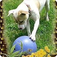 Adopt A Pet :: Hoss - Detroit, MI