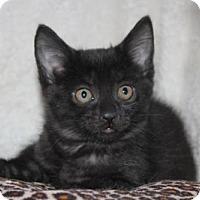 Adopt A Pet :: Licorice - Hamilton, ON