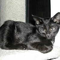 Domestic Shorthair Cat for adoption in Raleigh, North Carolina - Kobe C