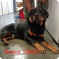 Adopt A Pet :: Besos - baltimore, MD