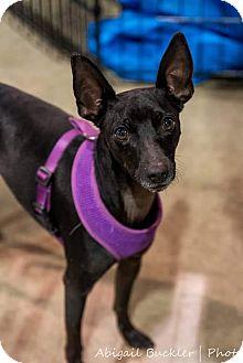 Italian Greyhound Mix Dog for adoption in Henderson, Nevada - Domino