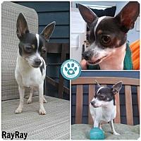 Adopt A Pet :: Ray Ray - Kimberton, PA