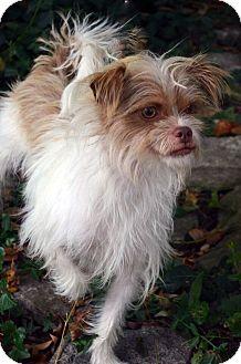 Shih Tzu/Terrier (Unknown Type, Small) Mix Dog for adoption in Bridgeton, Missouri - Elana