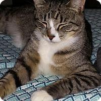 Domestic Shorthair Cat for adoption in Warwick, Rhode Island - Malcolm