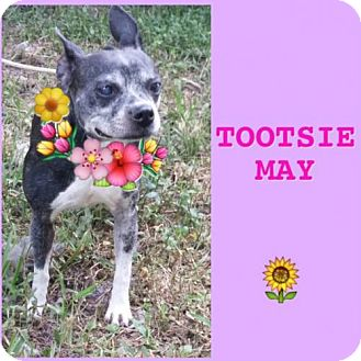 Boston Terrier Mix Dog for adoption in various cities, Florida - Tootsie May FL