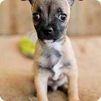 Adopt A Pet :: Sammy - Manhattan Beach, CA