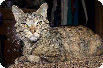 Domestic Shorthair Cat for adoption in Lincoln, Nebraska - Anny