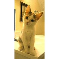 Calico Kitten for adoption in Cleveland, Ohio - Trina