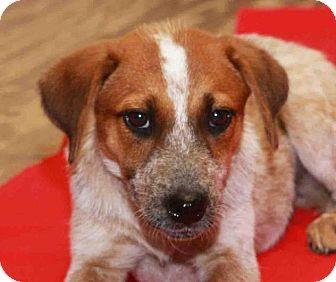 Australian Cattle Dog Dog for adoption in Rossville, Tennessee - Boska