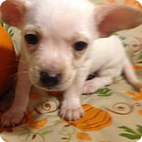Adopt A Pet :: !  BRUISER - Colton, CA