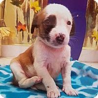 Adopt A Pet :: Polly - New York, NY
