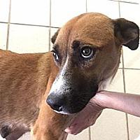Adopt A Pet :: Lacey - Saddle Brook, NJ