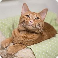 Adopt A Pet :: Goldie - Houston, TX