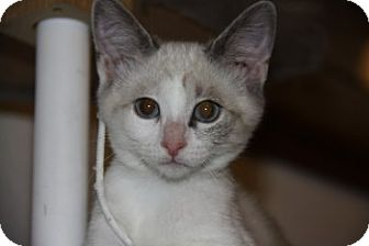 Siamese Kitten for adoption in Davis, California - Blitz